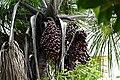 Moriche Palm (Mauritia flexuosa) fruits (40136103811).jpg