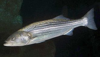 Striped bass - Image: Morone saxatilis SI2