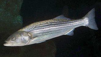 Striped bass - Image: Morone saxatilis SI2