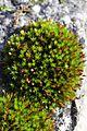 Moss - Schistidium apocarpum (?) (23973810864).jpg