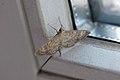 Moth macro (6850152119).jpg