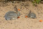 Mother and Juvenile Cottontail.jpg
