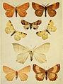 Moths of the British Isles Series2 Plate117.jpg