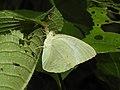 Mottled Emigrant Catopsilia pyranthe by Dr. Raju Kasambe DSCN1987 (3).jpg
