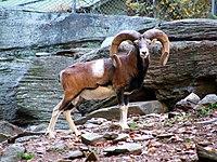 Imitacije glodara 200px-Mouflon_2
