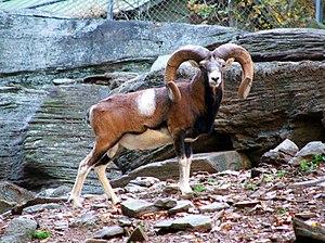 Ovis - Image: Mouflon 2