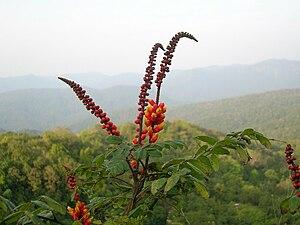 Kali Tiger Reserve - Medicinal candy corn plant
