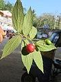 Muntingia calabura - Jamaica Cherry at Nedumpoil (5).jpg