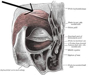 Facial feedback hypothesis - Corrugator supercilii muscle