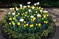 Myddelton House, Enfield, London, England ~ yellow and white tulip bed.jpg