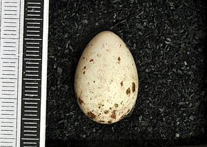 Social flycatcher - Egg, Collection Museum Wiesbaden
