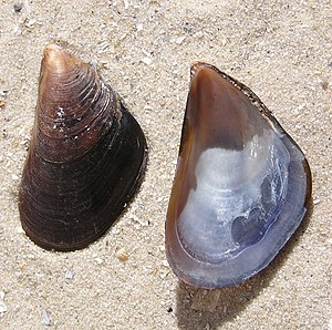 Mediterranean mussel - Two valves of Mytilus galloprovincialis
