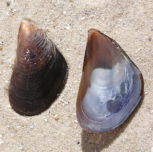 Mytilus galloprovincialis shell