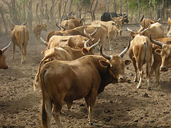N'Dama herd in West Africa.jpg