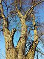 NÖ-Naturdenkmal KO-033 3 Winterlinden sl3.jpg