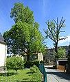 ND Winterlinde (Lutherlinde) in Chemnitz-Klaffenbach..2H1A3243WI.jpg