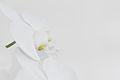 Nachtfalter Orchidee, Phalaenopsis 04.JPG