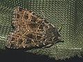 Naenia typica - The Gothic - Земляная совка тёмная (40194899495).jpg