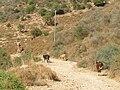 Nahal Dishon, cows 03.jpg