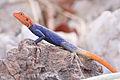 Namibian Rock Agama (Agama planiceps) (8603173387).jpg