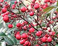 Nandina bush with ripe berries.jpg