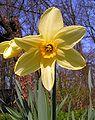Narcissus20090505 23.jpg