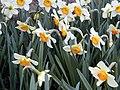 Narcissus 'Flower Record'.JPG