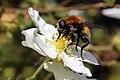 Narcissus bulb fly (Merodon equestris) on flower.jpg
