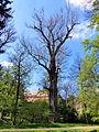 Naturdenkmal Schwarzpappel Stadtpark Riesa 4.JPG
