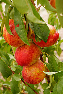Nectarines summer 2006.jpg