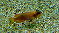 Neolamprologus ocellatus gold - Aqua Porte doree 05.JPG