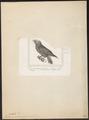 Nestor meridionalis - 1838 - Print - Iconographia Zoologica - Special Collections University of Amsterdam - UBA01 IZ18600043.tif