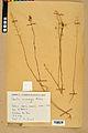 Neuchâtel Herbarium - Camelina microcarpa - NEU000022961.jpg