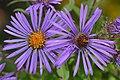 New England Aster (Symphyotrichum novae-angliae) - Mississauga, Ontario.jpg