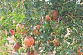Niche Organic pomegranates on Farm.jpg