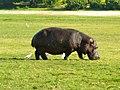 Nijlpaard (6558980889).jpg
