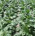 No weeds in sugar beet.jpg