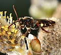 Nomada leucophthalma (male) - Flickr - S. Rae.jpg