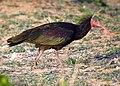 Northern Bald Ibis Geronticus eremita (8470613428).jpg