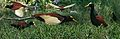Northern Jacana from The Crossley ID Guide Eastern Birds.jpg
