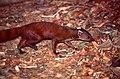 Northern Ring-tailed Mongoose (Galidia elegans dambrensis) (44393857934).jpg