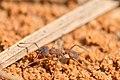 Northern fungus farming ant (Trachymyrmex septentrionalis) (27065729807).jpg