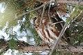 Northern saw-whet owl (2335344209).jpg