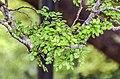Nothofagus solandri in Wellington Botanical Garden (3).jpg