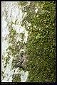 Notodontidae (9725487842).jpg