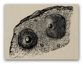 Novocrania - Three specimens of Novocrania anomala on a stone