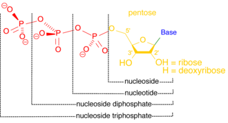 Phosphatase - Nucleosides and nucleotides differ by one phosphate, which is cleaved from nucleotides by nucleotidases.
