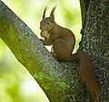 Nutty squirrel (40185086000).jpg