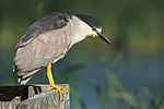 Nycticorax nycticorax at Las Gallinas Wildlife Ponds, looking down.jpg