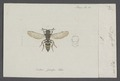 Nysson - Print - Iconographia Zoologica - Special Collections University of Amsterdam - UBAINV0274 043 10 0008.tif